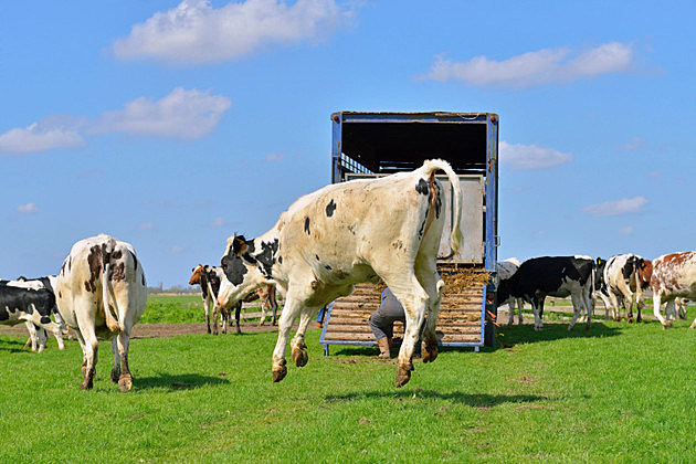 Cow jumps en run in to green meadow after transport
