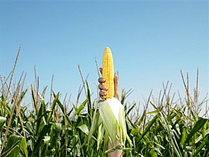 Corn_ear_field_gettyimages