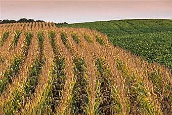 Corn_tassel_soybean_fields-gettyimages