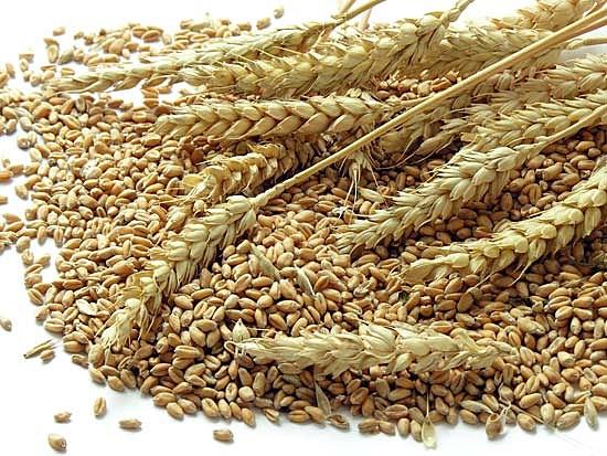 Wheat_britannica